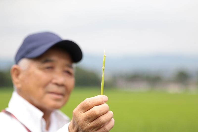 稲穂の成育確認